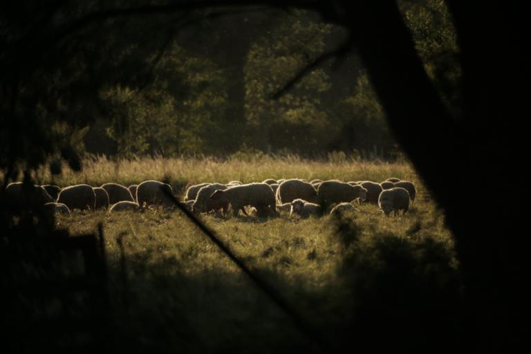 les moutons de Michel
